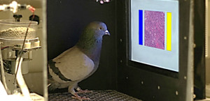 Cancer - pigeon